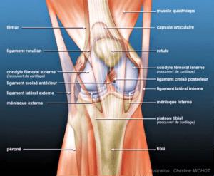 Le genou schema